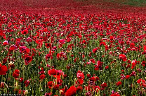 Click image for larger version.  Name:poppy field.jpg Views:508 Size:163.0 KB ID:451031