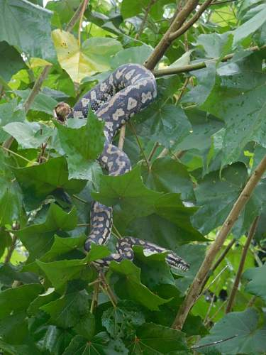 Click image for larger version.  Name:Diamond Python Easter Friday 16  (2)  .jpg Views:2 Size:165.7 KB ID:947415