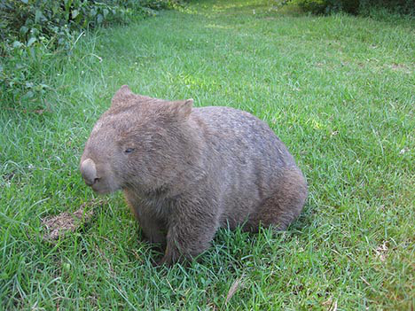 Name:  wombat2.jpg Views: 113 Size:  118.6 KB