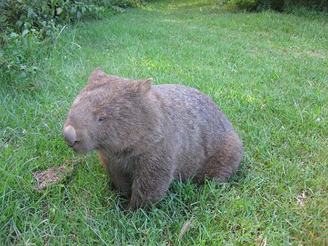 Name:  wombat2.jpg Views: 123 Size:  118.6 KB