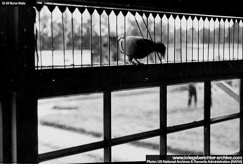 SS pigeon ring 1936