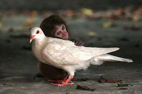 Click image for larger version.  Name:1015-monkey-and-pigeon.jpg Views:9 Size:45.2 KB ID:681041