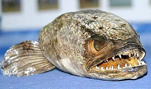 Click image for larger version.  Name:snakehead-fish.jpg Views:55 Size:54.8 KB ID:200561