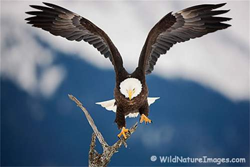 Click image for larger version.  Name:bald-eagle-photo1.jpg Views:77 Size:57.2 KB ID:265722