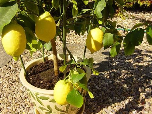 Click image for larger version.  Name:Lemons 004.jpg Views:17 Size:243.0 KB ID:583062