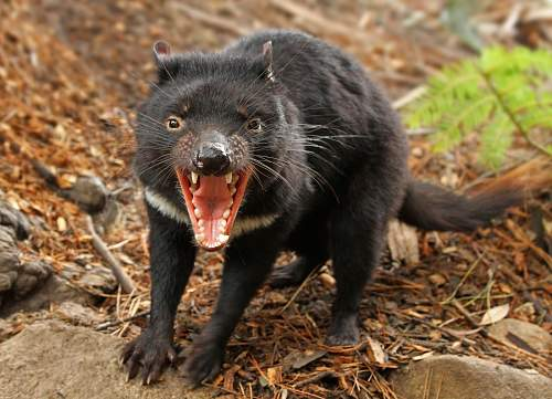 Click image for larger version.  Name:Tasmanian Devil Looking Angry.jpg Views:11 Size:269.7 KB ID:604988