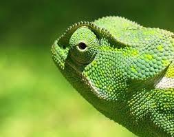 Name:  chameleon3.jpg Views: 133 Size:  9.4 KB